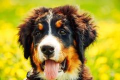 Щенок собаки горы Bernese (Berner Sennenhund) Стоковое Изображение