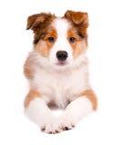 щенок собаки Коллиы граници Стоковая Фотография