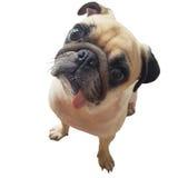 Щенок собаки мопса стороны конца-вверх милый при язык вставляя вне камеру взгляда Собака мопса в интересе и большая головная съем стоковое изображение rf