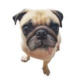 Щенок собаки мопса стороны конца-вверх милый при язык вставляя вне камеру взгляда Собака мопса в интересе и большая головная съем стоковые фотографии rf