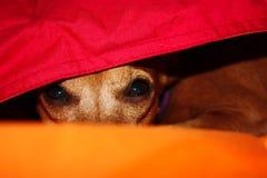 Щенок собаки прячет в тепле между одеялами его дома на зимний день стоковое фото