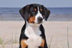 Щенок собаки скотин Entlebuch на стороне моря Стоковые Фото