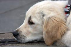 щенок собаки унылый Стоковое фото RF