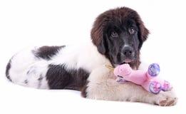 Щенок собаки Landseer перед белой предпосылкой Стоковые Фото