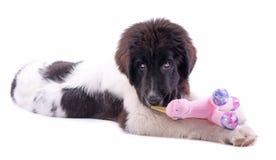 Щенок собаки Landseer перед белой предпосылкой Стоковая Фотография