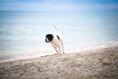 Щенок собаки Landseer Стоковые Фото