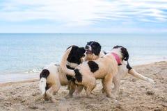 Щенок собаки Landseer Стоковая Фотография RF