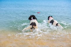 Щенок собаки Landseer Стоковое фото RF