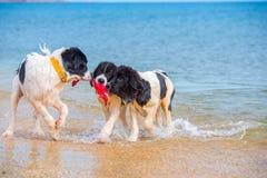 Щенок собаки Landseer Стоковые Изображения