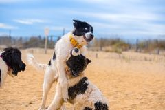 Щенок собаки Landseer Стоковые Изображения RF