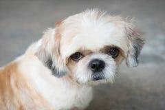 щенок собаки pomeranian (селективный фокус) Стоковое Изображение RF