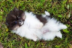 Щенок собаки Pomeranian снаружи Стоковое Фото