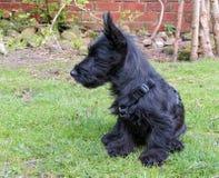 Щенок собаки Scottie сидя на лужайке показывая профиль Стоковая Фотография