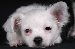 щенок сонный Стоковая Фотография RF