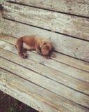 щенок сонный стоковые фотографии rf