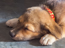 Щенок спать Стоковые Изображения RF