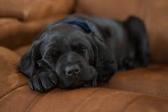 Щенок спать Стоковая Фотография RF