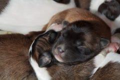 Щенок спит Стоковая Фотография RF