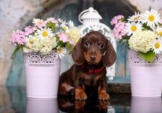 Щенок таксы и стоцвет цветков Стоковое фото RF