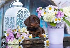 Щенок таксы и стоцвет цветков Стоковая Фотография