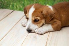 Щенок терьера Джека Рассела outdoors лежит на деревянном поле стоковое изображение rf