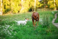 Щенок терьера Джека Рассела в траве Стоковое Изображение