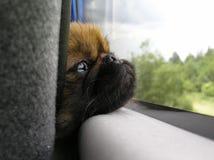 щенок унылый Стоковая Фотография