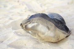 Щенок уплотнения имея остатки на пляже Hermosa Стоковая Фотография RF