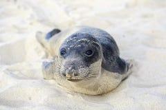 Щенок уплотнения имея остатки на пляже Hermosa Стоковые Изображения RF
