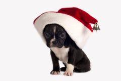 щенок франчуза бульдога Стоковая Фотография RF
