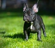 щенок франчуза бульдога Стоковые Изображения RF