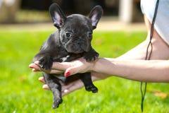 щенок франчуза бульдога Стоковое Изображение RF