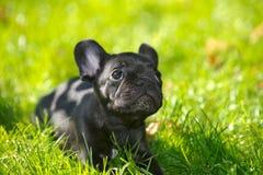 щенок франчуза бульдога Стоковое Фото