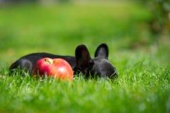 щенок франчуза бульдога Стоковая Фотография