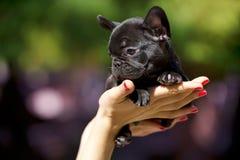 щенок франчуза бульдога Стоковое Изображение