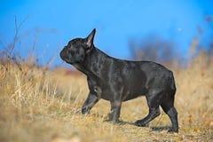 щенок франчуза бульдога Стоковые Фото