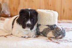 Щенок центрального азиатского sheep-dog Стоковая Фотография