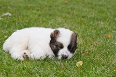 Щенок центрального азиатского sheep-dog Стоковая Фотография RF