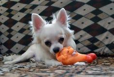 Щенок чихуахуа играя с игрушкой стоковая фотография rf