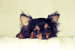 Щенок чихуахуа лежа на кровати Стоковые Фото