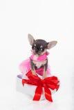 Щенок чихуахуа милый носит розовое платье моды стоковое изображение
