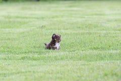 Щенок чихуахуа милый Стоковая Фотография