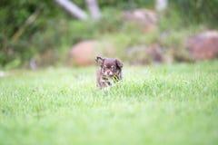 Щенок чихуахуа милый Стоковые Фотографии RF