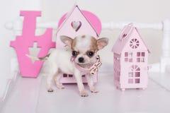 Щенок чихуахуа пятнистый около розовых бумажных домов Стоковая Фотография RF