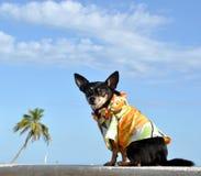 щенок чихуахуа тропический стоковое изображение rf