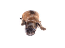 щенок чихуахуа Стоковое фото RF