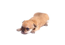 щенок чихуахуа Стоковое Фото