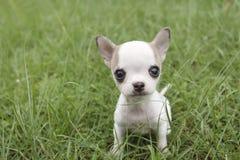 щенок чихуахуа Стоковое Изображение