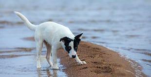 Щенок шавки подготавливает для нападения на seashore Стоковая Фотография RF
