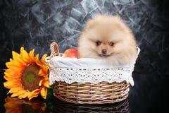 Щенок шпица в плетеной корзине с солнцецветом стоковые изображения